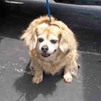 Pekingese/Spaniel (Unknown Type) Mix Dog for adoption in Miami, Florida - Mr. Waddles