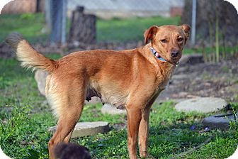 Golden Retriever/Feist Mix Dog for adoption in Staunton, Virginia - Shandy