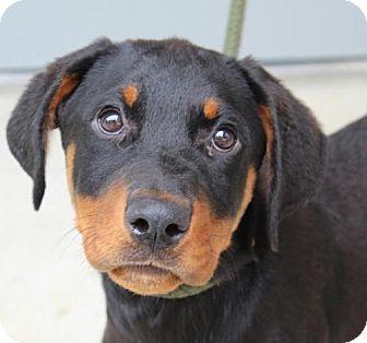 Rottweiler Mix Puppy for adoption in Hagerstown, Maryland - Zena