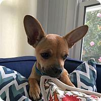 Adopt A Pet :: Suzie Q - Knoxville, TN