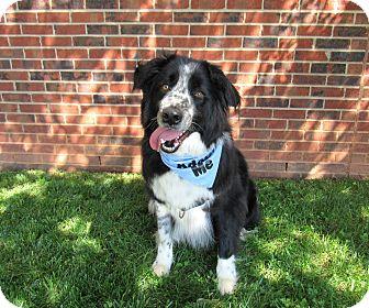 Border Collie/Bernese Mountain Dog Mix Dog for adoption in Lexington, North Carolina - Bandit