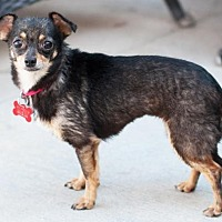 Chihuahua Mix Dog for adoption in San Diego, California - Jessica