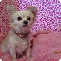 Adopt A Pet :: Hollie Loti - Shawnee Mission, KS