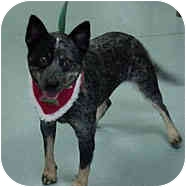Australian Cattle Dog/Blue Heeler Mix Dog for adoption in Beacon, New York - Sheila