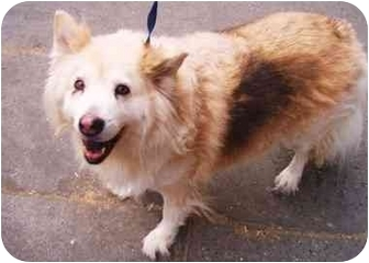 Collie/Samoyed Mix Dog for adoption in New York, New York - Coco