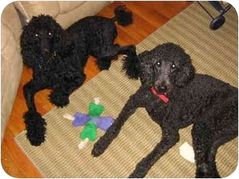 Standard Poodle Dog for adoption in Loudonville, New York - Max