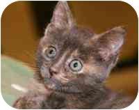Domestic Shorthair Kitten for adoption in Walker, Michigan - Rose