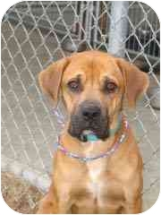 Boxer/Mastiff Mix Dog for adoption in Hammonton, New Jersey - Alexander