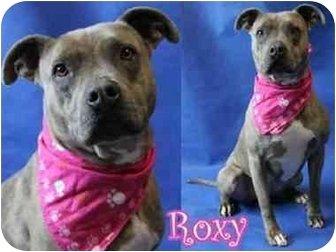 American Pit Bull Terrier/American Staffordshire Terrier Mix Dog for adoption in San Pedro, California - Roxy