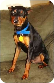 Miniature Pinscher Dog for adoption in Lawton, Oklahoma - SID