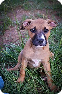 Boxer/Mountain Cur Mix Puppy for adoption in Glastonbury, Connecticut - Lefty