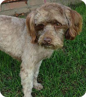 Poodle (Miniature)/Havanese Mix Dog for adoption in Poway, California - JOE