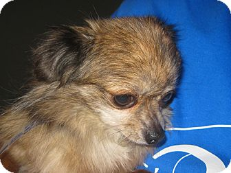 Chihuahua Dog for adoption in Prole, Iowa - Tink