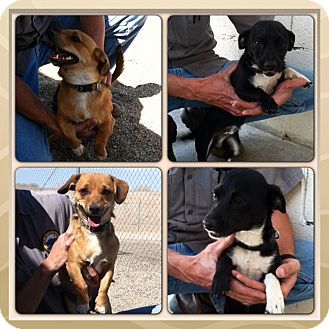 Dachshund/Chihuahua Mix Dog for adoption in Yerington, Nevada - Pete & Paco