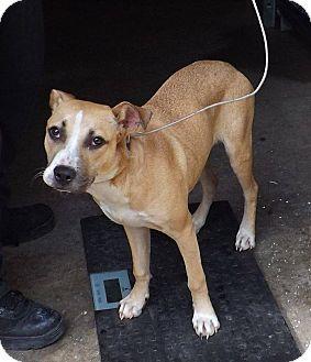 Labrador Retriever Mix Dog for adoption in Henderson, North Carolina - Lady