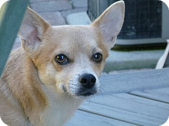 Chihuahua/Terrier (Unknown Type, Small) Mix Dog for adoption in Victor, Montana - Simba adoption pending