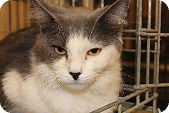 Maine Coon Cat for adoption in Santa Monica, California - Hope 2 c