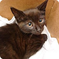 Domestic Shorthair Cat for adoption in Miami, Florida - Tommy