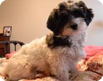 Havanese/Poodle (Miniature) Mix Dog for adoption in Mount Gretna, Pennsylvania - Shelby
