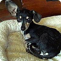 Adopt A Pet :: MINNIE - Valley Village, CA