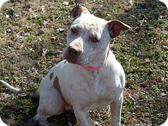 American Bulldog/Cattle Dog Mix Dog for adoption in Pulaski, Tennessee - Bella