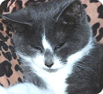 Domestic Shorthair Cat for adoption in Walworth, New York - Marie