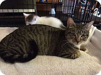 Domestic Shorthair Cat for adoption in Alamo, California - Tootsie