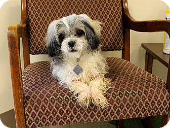 Pekingese/Poodle (Miniature) Mix Dog for adoption in Windsor, Virginia - Lola