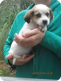 Shih Tzu/Chihuahua Mix Puppy for adoption in Rutherfordton, North Carolina - Wyatt
