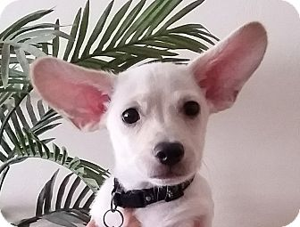 Jack Russell Terrier/Toy Fox Terrier Mix Puppy for adoption in Santa Ana, California - Dash (YW)