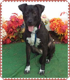 Labrador Retriever Mix Dog for adoption in Marietta, Georgia - SPIRIT-see video