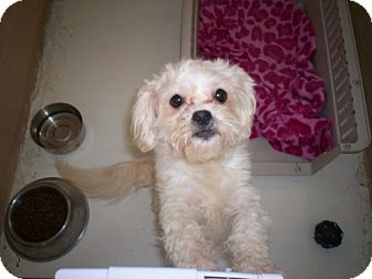 Maltese/Poodle (Miniature) Mix Dog for adoption in Newburgh, Indiana - Pixie