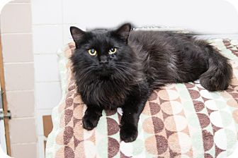 Maine Coon Cat for adoption in Chicago, Illinois - Onyx