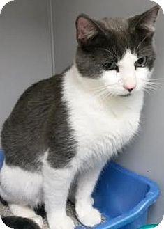 Domestic Shorthair Cat for adoption in Albertville, Alabama - Jake