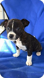 Chihuahua/Terrier (Unknown Type, Small) Mix Puppy for adoption in Woodstock, Georgia - Camo