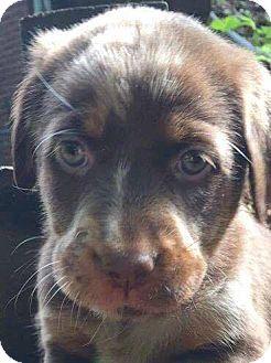 Golden Retriever Mix Puppy for adoption in CUMMING, Georgia - Lily