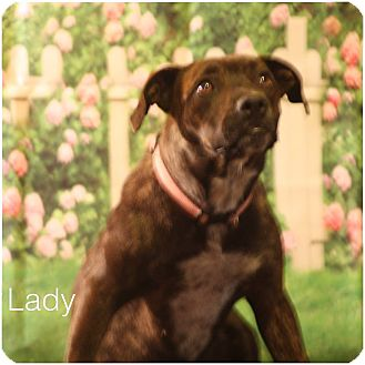 Pit Bull Terrier/American Pit Bull Terrier Mix Dog for adoption in Austin, Texas - Lady