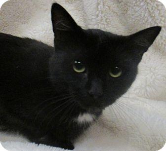 Domestic Shorthair Cat for adoption in Lloydminster, Alberta - Wasabi