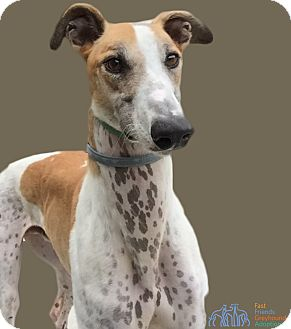 Greyhound Dog for adoption in Swanzey, New Hampshire - Ares