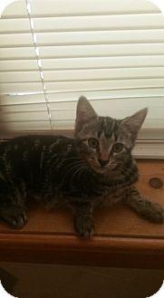Domestic Shorthair Kitten for adoption in Bloomingburg, New York - JILL