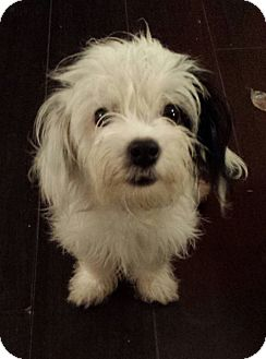 Havanese/Terrier (Unknown Type, Small) Mix Puppy for adoption in Encino, California - Lola