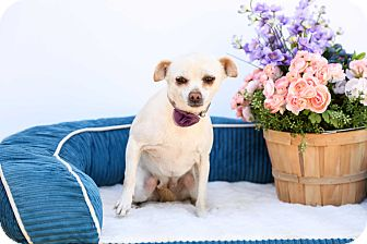Chihuahua/Pug Mix Dog for adoption in Auburn, California - Snow White
