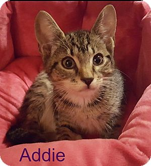 Domestic Shorthair Kitten for adoption in Wantagh, New York - Addie