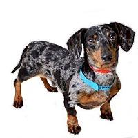 Adopt A Pet :: Snoopy Joe - Decatur, GA