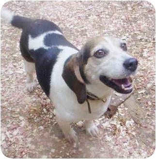Beagle Dog for adoption in Waldorf, Maryland - Katie East Brunswick