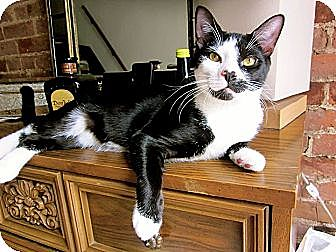 Domestic Shorthair Cat for adoption in Long Beach, New York - Buster