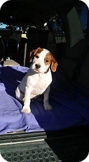 Australian Cattle Dog Mix Puppy for adoption in Phoenix, Arizona - Clyde