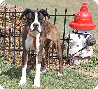 Boxer Mix Dog for adoption in Marietta, Ohio - Stella (Spayed)