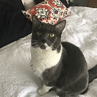Domestic Shorthair Cat for adoption in Ridgefield, Connecticut - Izzy