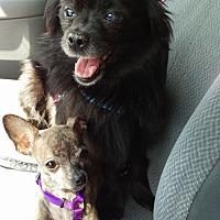 Pomeranian Mix Dog for adoption in New York, New York - Odette